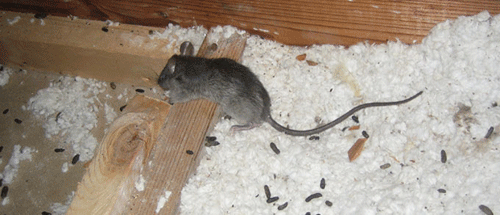 Photos Of Rat Infestation