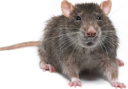 rodent removal sarasota
